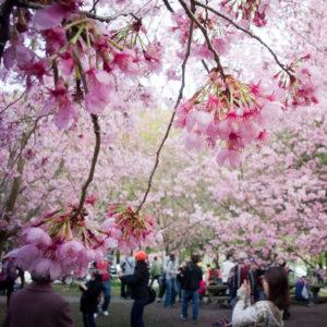hanami-park